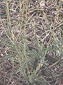 Starr-090814-4295-Lactuca sativa-habit-Mokulele Hwy-Maui (24945885676).jpg