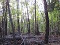 Starr-091029-8698-Fraxinus uhdei-fall foliage-Olinda-Maui (24987172785).jpg