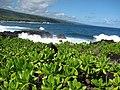 Starr-091104-0731-Scaevola taccada-habit view ocean-Kahanu Gardens NTBG Kaeleku Hana-Maui (24356893494).jpg