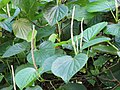 Starr-091104-8777-Piper gualiameanse-leaves and flower spikes-Kahanu Gardens NTBG Kaeleku Hana-Maui (24870059362).jpg
