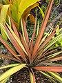 Starr-110307-2965-Phormium tenax-habit-Kula Botanical Garden-Maui (24985780711).jpg