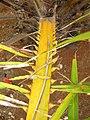 Starr-120702-7935-Elaeis guineensis-thorns on stems-USDA Plant Materials Center-Molokai (25068046322).jpg