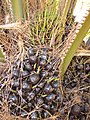 Starr-120702-7950-Elaeis guineensis-fruit-USDA Plant Materials Center-Molokai (25093090941).jpg