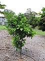 Starr-130504-4379-Citrus sinensis-Valencia habit-Hawea Pl Olinda-Maui (24579934894).jpg
