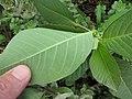 Starr-130610-4755-Euphorbia heterophylla-leaves-Kealia Pond NWR-Maui (25093588582).jpg