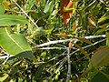 Starr-140909-1689-Syzygium cumini-leaves-Wailua-Maui (24615079324).jpg