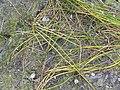 Starr-150331-0799-Cyperus laevigatus-transplanted-Brackish Pond Sand Island-Midway Atoll (24644704103).jpg