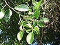 Starr-151029-0375-Ficus benjamina-stem galls leaf galls and Cuban laurel thrips-Maui Nui Botanical Garden Kahului-Maui (26216202061).jpg