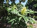 Starr-151029-2746-Rhus sandwicensis-leaves flowers-Maui Nui Botanical Garden Kahului-Maui (25679774033).jpg