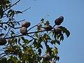 Starr-180406-0653-Swietenia macrophylla-fruit leaves-Airport Hilo-Hawaii (41326315972).jpg