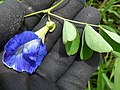 Starr-180421-0076-Clitoria ternatea-flowers leaves-Honolua Lipoa Point-Maui (28572117697).jpg