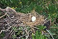 Starr-990518-0807-Scaevola taccada-with booby egg-Eastern Island-Midway Atoll (23898727434).jpg