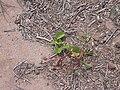 Starr 030523-0018 Ipomoea pes-caprae subsp. brasiliensis.jpg
