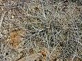 Starr 031007-2091 Lycium sandwicense.jpg