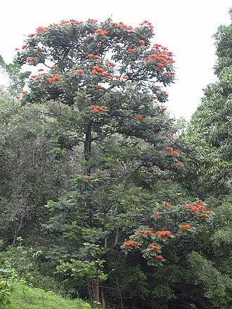 Spathodea - Image: Starr 031210 0047 Spathodea campanulata