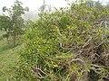 Starr 060225-6143 Psydrax odorata.jpg
