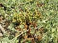 Starr 060922-9183 Chenopodium oahuense.jpg