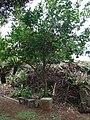 Starr 061105-1368 Citrus limon.jpg