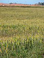 Starr 080306-3356 Crotalaria incana.jpg