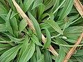 Starr 080327-3891 Plantago lanceolata.jpg
