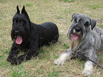 Standard Schnauzer - Black cropped-ear female (1.5 y/o) and Pepper-and-salt natural-ear male (9mo) out of same U.S. kennel