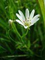 Stellaria palustris.jpg