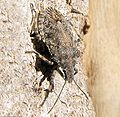 Stinkbug desert species.JPG