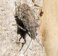 Stinkbug desert species.JPG