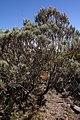 Stoebe passerinoides scrub.JPG