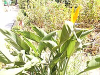 Strelitzia reginae from Kedumim 105.jpg