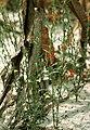Striga plant.jpg