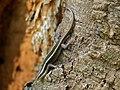 Striped Skink (Trachylepis striata) (11822056444).jpg