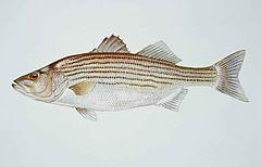 240px striped bass morone saxatilis fish