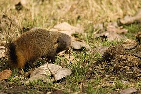 StripeneckMongoose.jpg