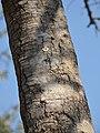 Strychnos spinosa (trunk).jpg