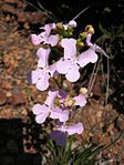 Stylidium affine flower3.jpg