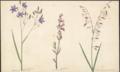 Stypandra caerulea, Silene var., Arthropedium paniculatum by Susan Fereday.png