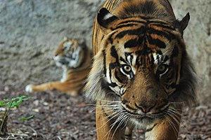English: Sumatran Tiger