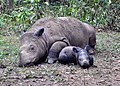 Sumatran rhinoceros resting.jpg