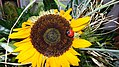 Sunflower and ladybug.jpg