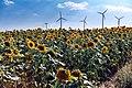Sunflower field between Helbra and Volkstedt.jpg