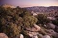 Sunset desert shrubs (13496597705).jpg