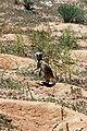 Suricata suricatta 004.jpg