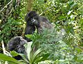 Susa group, mountain gorillas - Flickr - Dave Proffer (23).jpg