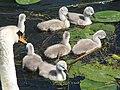 Sussex swan family.jpg