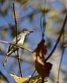 Swainson's Flycatcher (Myiarchus swainsoni) (30946194034).jpg