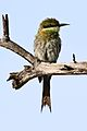 Swallow-tailed bee-eater, Merops hirundineus, at Elephant Sands Lodge, Botswana (31445019004).jpg