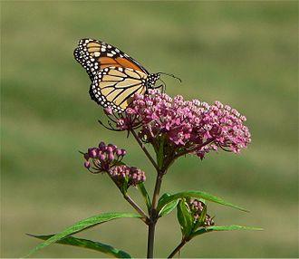 Asclepias incarnata - Image: Swamp milkweed monarch