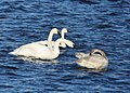 Swans - Tundra and Trumpeter (31378055094).jpg