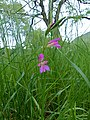 Sword Lily (Gladiolus communis) (13975615337).jpg